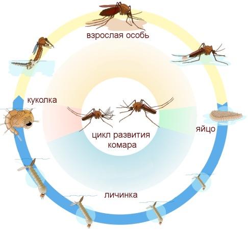 """Цикл развития комара: убивая личинок, """"Биоларвицид-30"""" разрывает этот """"порочный круг""""!"""